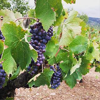 Orias Grapes